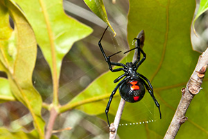 Eugene Spider Control - Black Widow Spider