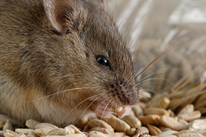 Eugene Mice Control Company - Mouse Eating