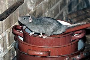 Eugene Rat Control - Diseases