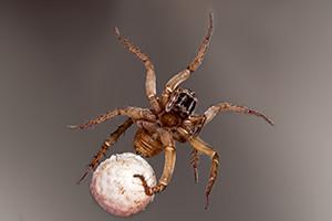 Eugene Spider Control - Eggs