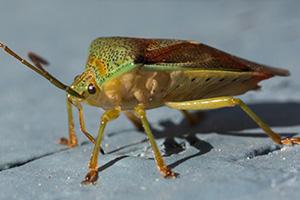 Eugene Stink Bug Control - Damage