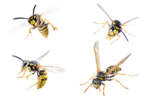 Eugene Wasp Control - Yellow Jackets