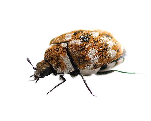 Eugene Carpet Beetle Control Pest Control Company