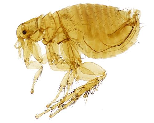Eugene Flea Control - flea exterminators
