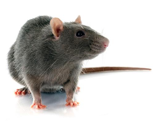 Eugene Rat Contol