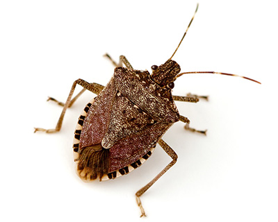 Eugene Stink Bug Control