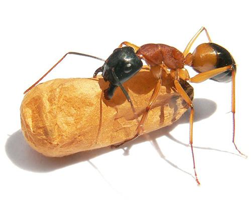 Eugene Sugar Ant Control