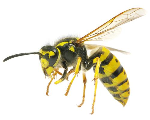 Eugene Wasp Control