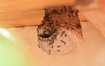 MERLE'S PEST CONTROL Eugene  - Wasp Nest